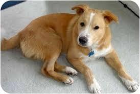 australian shepherd in california kizer adopted dog kizer marina del rey ca shiba inu