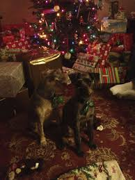 my schnoodles tedy black and jessie brown posing for a