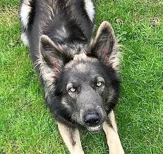 Light Sable German Shepherd No Good Dog Is A Bad Color