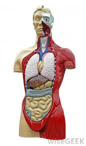 Images Of Human Anatomy And Physiology What Is The Difference Between Anatomy And Physiology