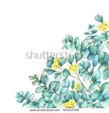 border branch silverdollar eucalyptus eucalyptus cordata stock