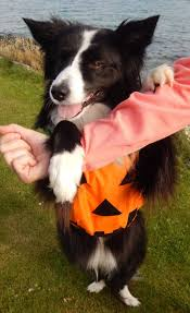 pumpkin costume halloween 251 best halloween costumes border collie halloween pictures asha
