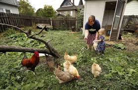 backyard chicken trend leads to more disease infections iowa