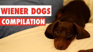 Wiener Dog Meme - wiener dogs video compilation 2017 youtube