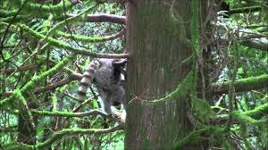 Raccoons In Backyard Raccoons In The Trees Backyard Youtube