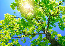 5 best shade trees for st louis jackson tree service llc
