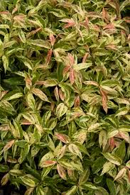 native plants of georgia rainbow drooping fetterbush monrovia rainbow drooping fetterbush