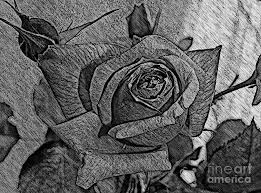 black and white rose sketch photograph by barbara griffin