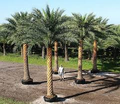 sylvester date palm tree sylvestris palmpedia palm grower s guide beautiful