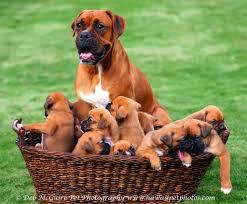 10 boxer dog facts hawaii boxer dogs pet photography oahu honolulu dog photographer