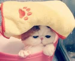 Hair Dryer Khusus Kucing cara memandikan kucing yang baik dan benar hobinatang