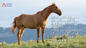 mustang horse 5 best quotes about wild horses american wild horse campaign