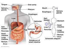 College Anatomy And Physiology Notes Anatomy U0026 Physiology Lecture Notes Digestive System