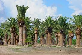 palm trees canary island date palm medjool date palm zahidi