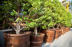 row of small potted trees on a pavement outdoors stock