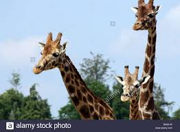 three giraffe faces stock photo royalty free image 30165228 alamy