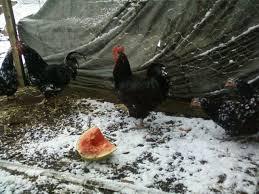the secret to saving money raising poultry backyard chickens