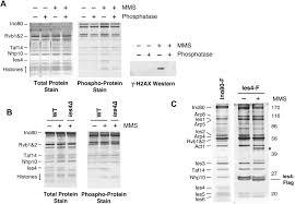 Flag Complex Mec1 Tel1 Phosphorylation Of The Ino80 Chromatin Remodeling