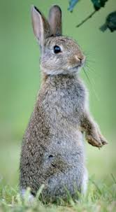 How Do I Get Rid Of Rabbits In My Backyard With A Rabbit Population Of 45m Britain Is Under Threat From