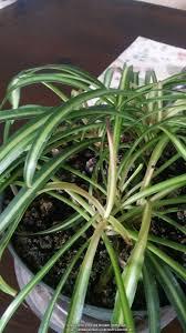 garden design garden design with spider plant problem with how