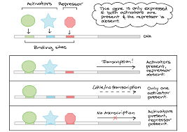 transcription factors article khan academy