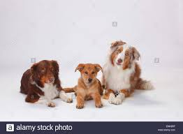 australian shepherd dachshund australian shepherd red merle and harzer fuchs puppy 3 stock