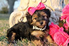 hair accessories for yorkie poos yorkie poo puppies for sale in louisiana funny pinterest