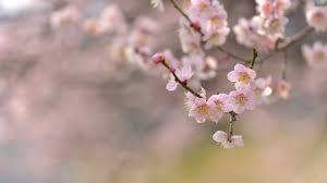 cherry blossoms 8 wallpaper flower wallpapers 35110