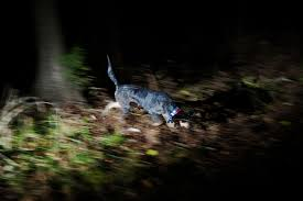 bluetick coonhound breeders near me missouri coon hunting u2014 mark kauzlarich