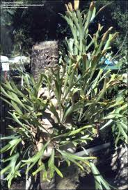 elkhorn native plant nursery plantfiles pictures common staghorn fern elkhorn fern antelope