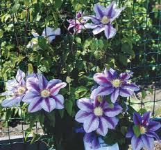Plants For Pergolas by Plant Info Perfect Pergolas