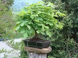 bonsai saule pleureur photo du bonsai marronnier d u0027inde aesculus hippocastanum
