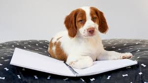american eskimo dog energy level brittany dog breed information pictures characteristics u0026 facts