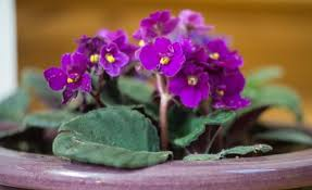 african violet grow light how to grow african violets miracle gro