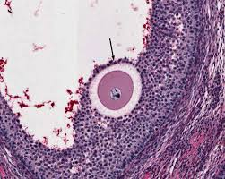 female reproductive system histology