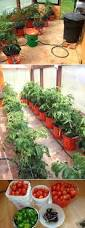 how to grow tomato plants in buckets icreatived