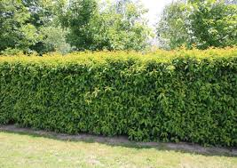 native hedging plants portuguese laurel new zealand easy big trees