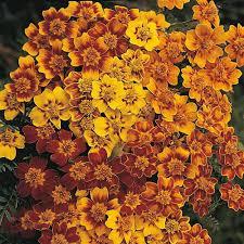 marigold seeds thompson u0026 morgan