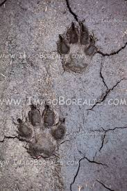 wolf paw print tracks cracked mud stock photo