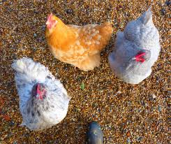 all about orpington chickens backyard poultry countryside
