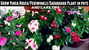 Vinca Flower Information - how to grow vinca rosea periwinkle sadabahar plant in pots u0026 care