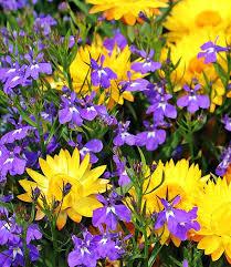 straw flowers straw flowers yellow free photo on pixabay