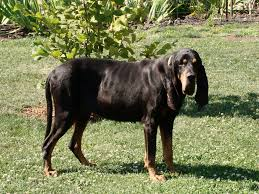 bluetick vs english coonhound the 6 best coon hunting dogs the perfect hounds for pesky raccoons
