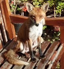 mail on sunday readers turned cub reporters after our u0027cheeky fox