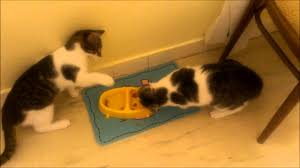 twin cats fighting for food funny animal youtube