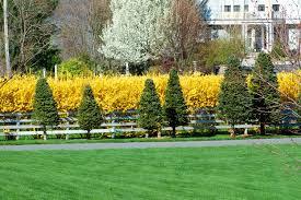 forsythia bushes colorful shrubs for border plantings