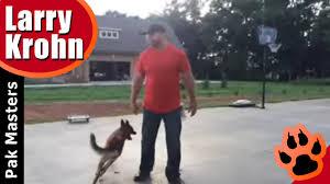 belgian shepherd el paso belgian malinois playing training session nashville dog