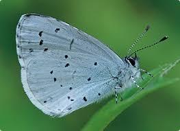butterflyid blue