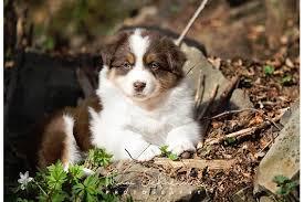 australian shepherd zu verschenken australian shepherd in wipperfürth hunde kaufen u0026 verkaufen