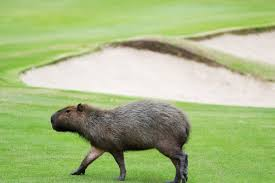 world u0027s largest rodents take over rio u0027s olympic golf course